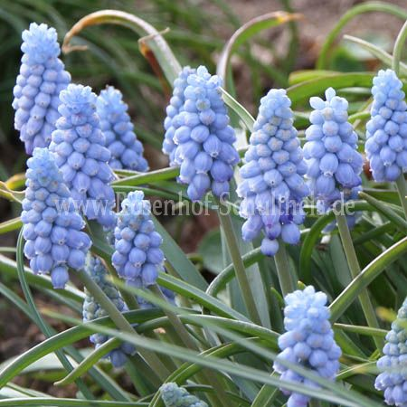 Muscari Hybride 'Peppermint'