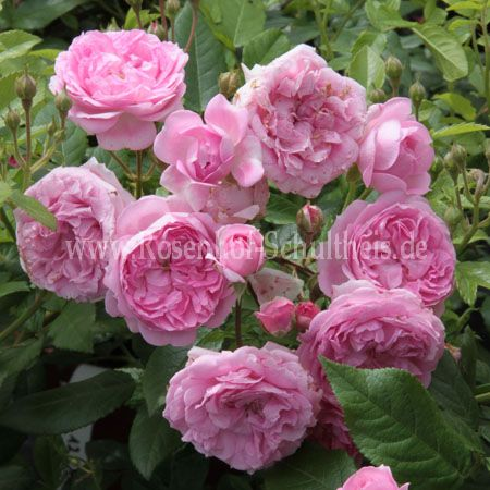 brentano rose rosen online kaufen im rosenhof schultheis rosen online kaufen im rosenhof. Black Bedroom Furniture Sets. Home Design Ideas