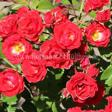 scarlet meidiland rosen online kaufen im rosenhof schultheis rosen online kaufen im rosenhof. Black Bedroom Furniture Sets. Home Design Ideas