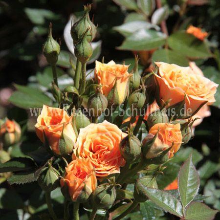 clementine rosen online kaufen im rosenhof schultheis. Black Bedroom Furniture Sets. Home Design Ideas