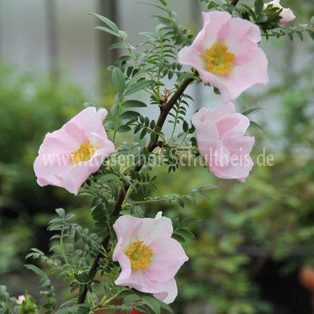 rosa roxburghii hirtula rosen online kaufen im rosenhof schultheis rosen online kaufen im. Black Bedroom Furniture Sets. Home Design Ideas
