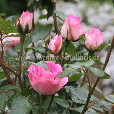 christian schultheis rosen online kaufen im rosenhof schultheis rosen online kaufen im. Black Bedroom Furniture Sets. Home Design Ideas