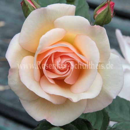 penelope rosen online kaufen im rosenhof schultheis rosen online kaufen im rosenhof schultheis. Black Bedroom Furniture Sets. Home Design Ideas