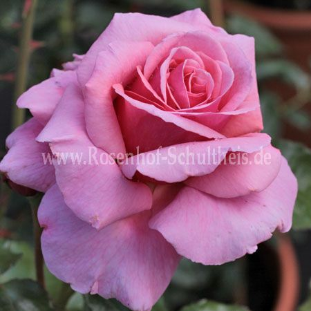 aloha rosen online kaufen im rosenhof schultheis rosen online kaufen im rosenhof schultheis. Black Bedroom Furniture Sets. Home Design Ideas