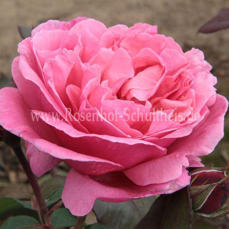 elbflorenz rosen online kaufen im rosenhof schultheis. Black Bedroom Furniture Sets. Home Design Ideas