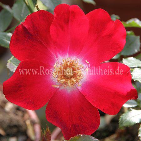 dortmund rosen online kaufen im rosenhof schultheis rosen online kaufen im rosenhof schultheis. Black Bedroom Furniture Sets. Home Design Ideas