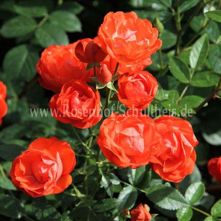 orange triumph rosen online kaufen im rosenhof. Black Bedroom Furniture Sets. Home Design Ideas