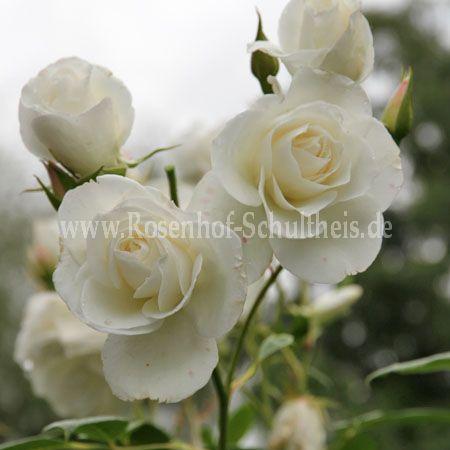 schneewittchen rosen online kaufen im rosenhof. Black Bedroom Furniture Sets. Home Design Ideas
