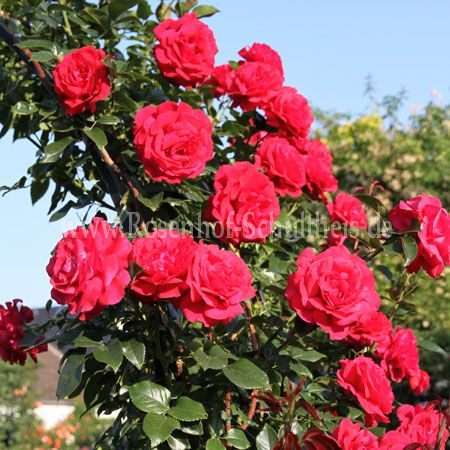 red flame rosen online kaufen im rosenhof schultheis. Black Bedroom Furniture Sets. Home Design Ideas