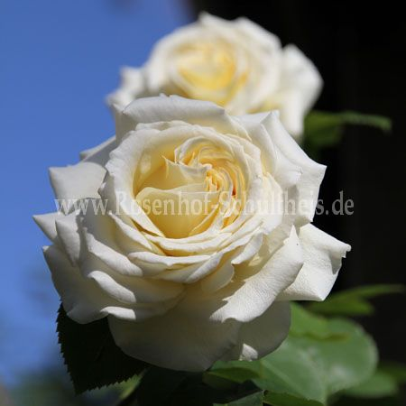 gertrud fehrle rosen online kaufen im rosenhof schultheis rosen online kaufen im rosenhof. Black Bedroom Furniture Sets. Home Design Ideas