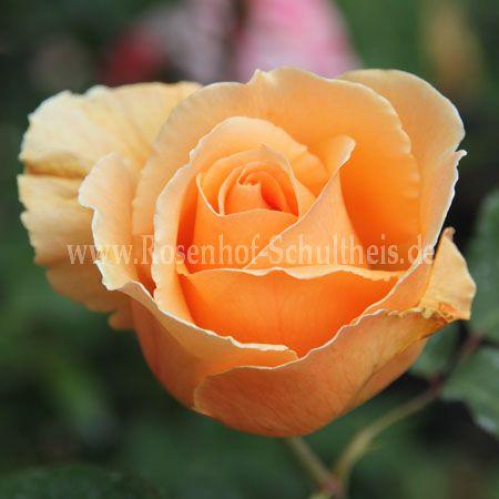 just joey rosen online kaufen im rosenhof schultheis rosen online kaufen im rosenhof schultheis. Black Bedroom Furniture Sets. Home Design Ideas