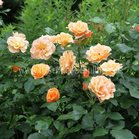 tequila rosen online kaufen im rosenhof schultheis rosen online kaufen im rosenhof schultheis. Black Bedroom Furniture Sets. Home Design Ideas
