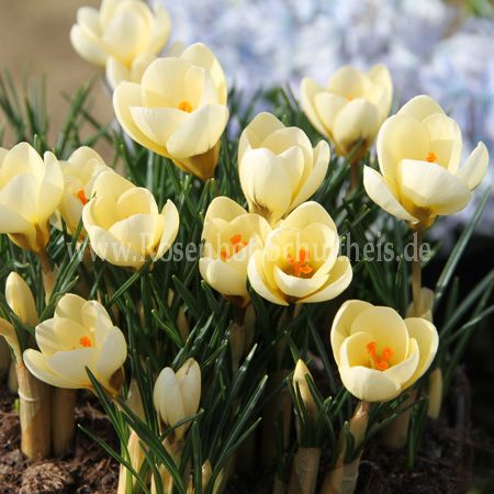 Crocus chrys. 'Cream Beauty'