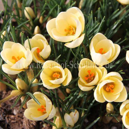 crocus chrys 39 cream beauty 39 rosen online kaufen im. Black Bedroom Furniture Sets. Home Design Ideas