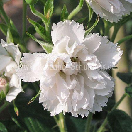 wei e nelkenrose rosen online kaufen im rosenhof schultheis rosen online kaufen im rosenhof. Black Bedroom Furniture Sets. Home Design Ideas