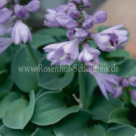 hosta 39 blue mouse ears 39 rosen online kaufen im rosenhof. Black Bedroom Furniture Sets. Home Design Ideas