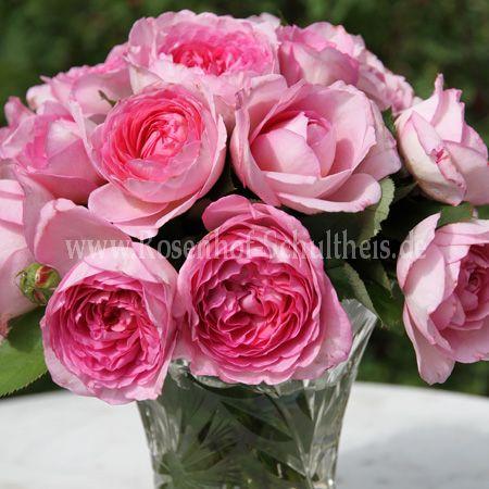 rosen schultheis rosen schultheis pin steine b ume str. Black Bedroom Furniture Sets. Home Design Ideas