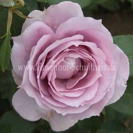 novalis rosen online kaufen im rosenhof schultheis rosen online kaufen im rosenhof schultheis. Black Bedroom Furniture Sets. Home Design Ideas