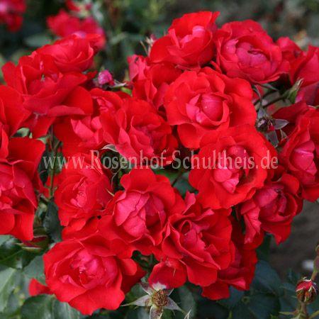 black forrest rose rosen online kaufen im rosenhof. Black Bedroom Furniture Sets. Home Design Ideas