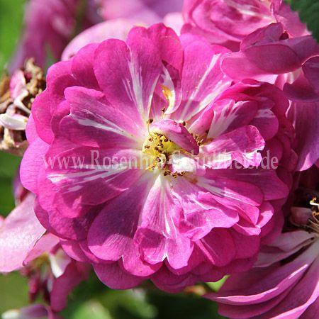 rudelsburg rosen online kaufen im rosenhof schultheis rosen online kaufen im rosenhof schultheis. Black Bedroom Furniture Sets. Home Design Ideas