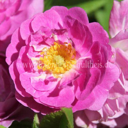 mannington mauve rambler rosen online kaufen im rosenhof. Black Bedroom Furniture Sets. Home Design Ideas