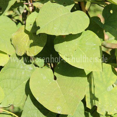 aristolochia macrophylla pfeifenwinde rosen online. Black Bedroom Furniture Sets. Home Design Ideas