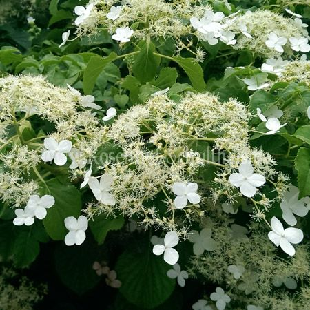 hydrangea petiolaris kletterhortensie rosen online kaufen im rosenhof schultheis rosen. Black Bedroom Furniture Sets. Home Design Ideas