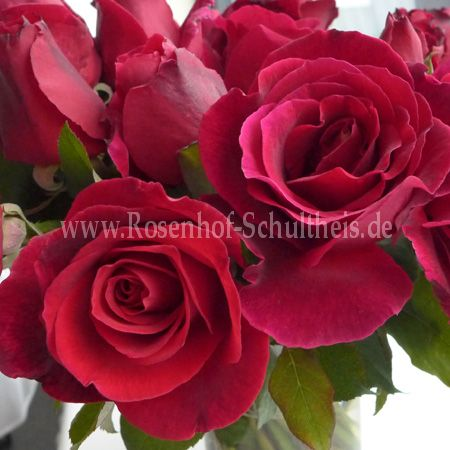 climbing crimson glory rosen online kaufen im rosenhof. Black Bedroom Furniture Sets. Home Design Ideas