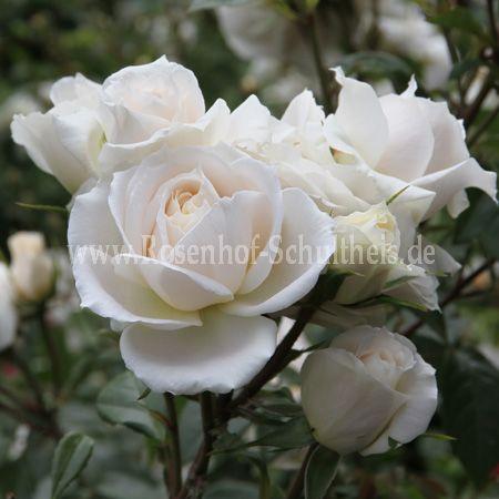 lions rose rosen online kaufen im rosenhof schultheis. Black Bedroom Furniture Sets. Home Design Ideas