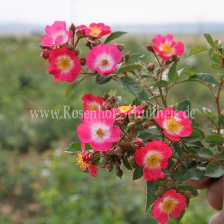 bee lovely rosen online kaufen im rosenhof schultheis rosen online kaufen im rosenhof schultheis. Black Bedroom Furniture Sets. Home Design Ideas