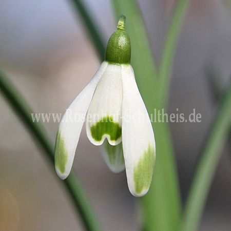 galanthus nivalis 39 viridapice 39 rosen online kaufen im rosenhof schultheis rosen online. Black Bedroom Furniture Sets. Home Design Ideas