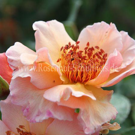meg rosen online kaufen im rosenhof schultheis rosen online kaufen im rosenhof schultheis. Black Bedroom Furniture Sets. Home Design Ideas