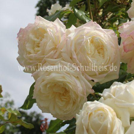 alaska rosen online kaufen im rosenhof schultheis rosen online kaufen im rosenhof schultheis. Black Bedroom Furniture Sets. Home Design Ideas