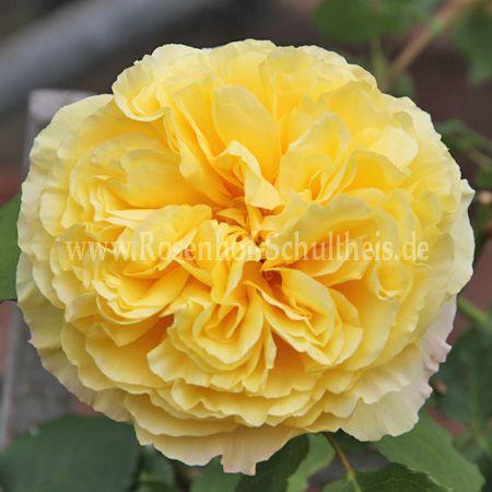 skylight rosen online kaufen im rosenhof schultheis rosen online kaufen im rosenhof schultheis. Black Bedroom Furniture Sets. Home Design Ideas