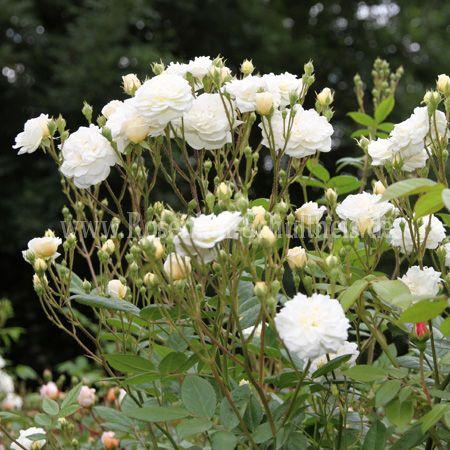 lemon rambler rosen online kaufen im rosenhof schultheis. Black Bedroom Furniture Sets. Home Design Ideas