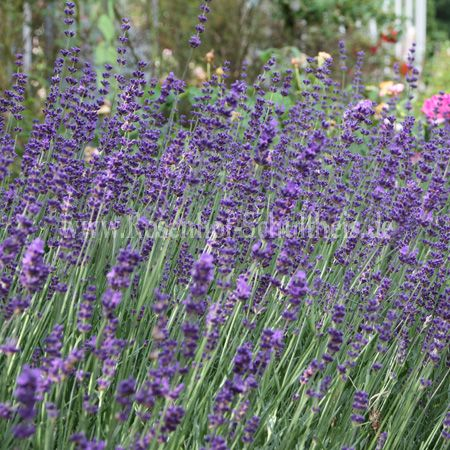 lavandula angustifolia hidcote blue lavendel rosen. Black Bedroom Furniture Sets. Home Design Ideas