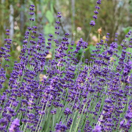 lavandula angustifolia hidcote blue lavendel rosen online kaufen im rosenhof schultheis. Black Bedroom Furniture Sets. Home Design Ideas