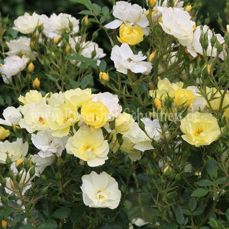 golden age rosen online kaufen im rosenhof schultheis rosen online kaufen im rosenhof schultheis. Black Bedroom Furniture Sets. Home Design Ideas