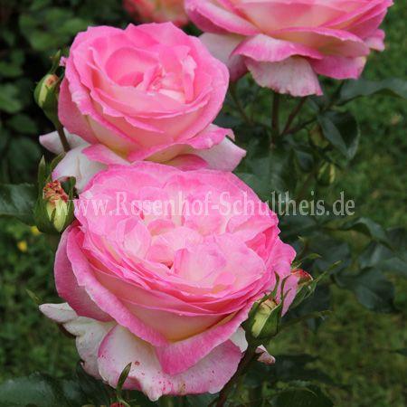sweet delight rosen online kaufen im rosenhof schultheis rosen online kaufen im rosenhof. Black Bedroom Furniture Sets. Home Design Ideas