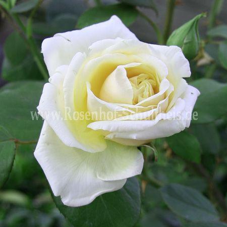 elegance rosen online kaufen im rosenhof schultheis. Black Bedroom Furniture Sets. Home Design Ideas