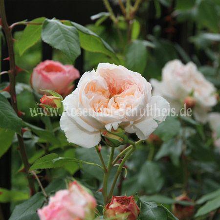 clara schumann rosen online kaufen im rosenhof schultheis rosen online kaufen im rosenhof. Black Bedroom Furniture Sets. Home Design Ideas