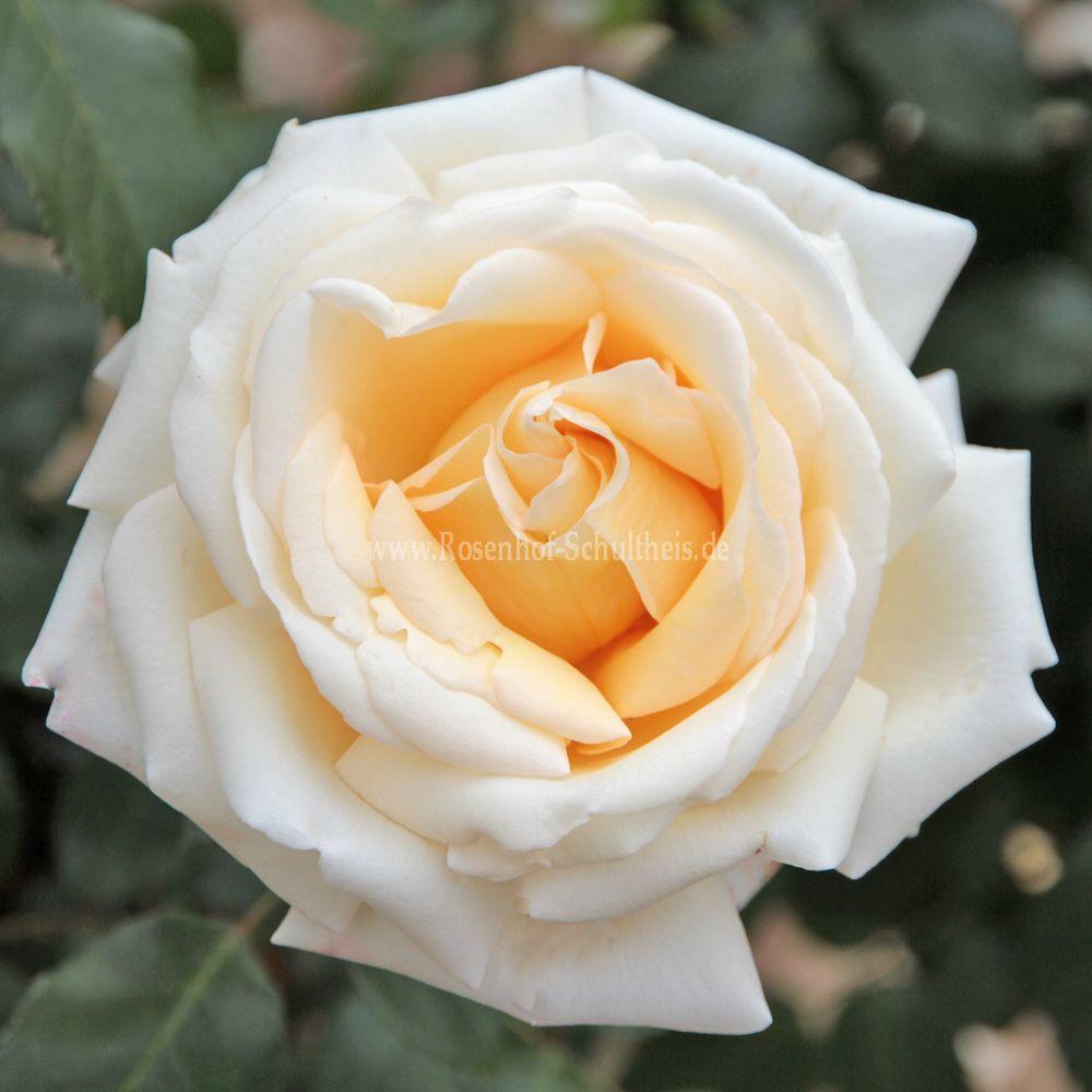 ambiente rosen online kaufen im rosenhof schultheis rosen online kaufen im rosenhof schultheis. Black Bedroom Furniture Sets. Home Design Ideas