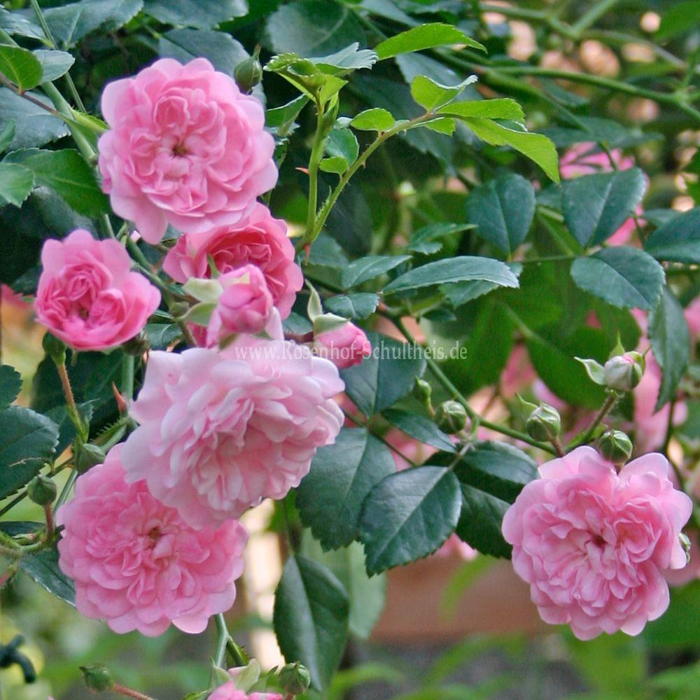 the fairy rosen online kaufen im rosenhof schultheis rosen online kaufen im rosenhof schultheis. Black Bedroom Furniture Sets. Home Design Ideas