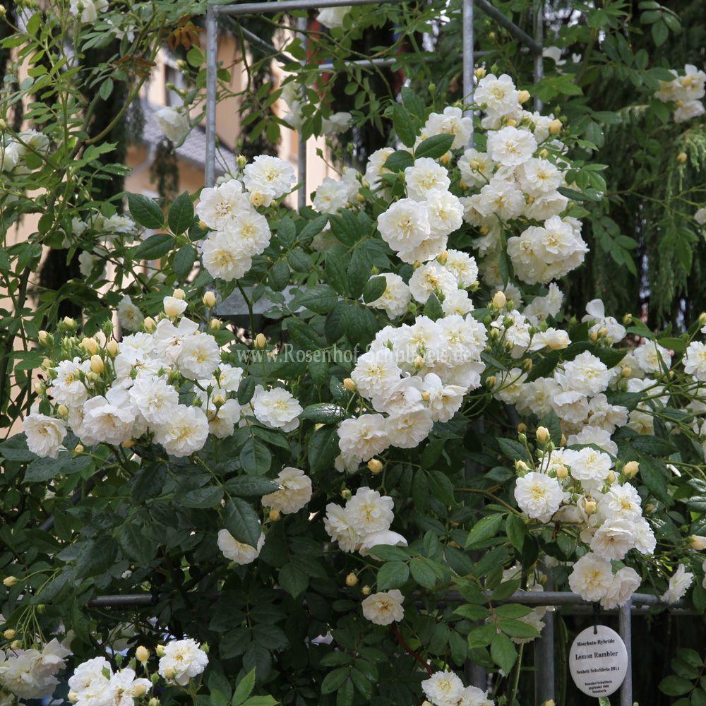 steinfurther rosen steinfurther rosen garten foto des tages 11 von suche keine ergebnisse 1 2. Black Bedroom Furniture Sets. Home Design Ideas