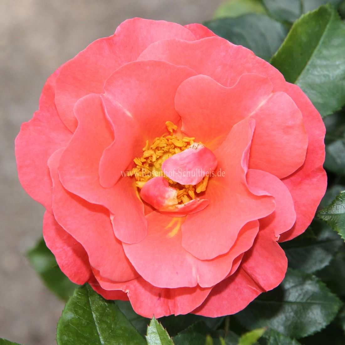 carl laemmle rose rosen online kaufen im rosenhof. Black Bedroom Furniture Sets. Home Design Ideas