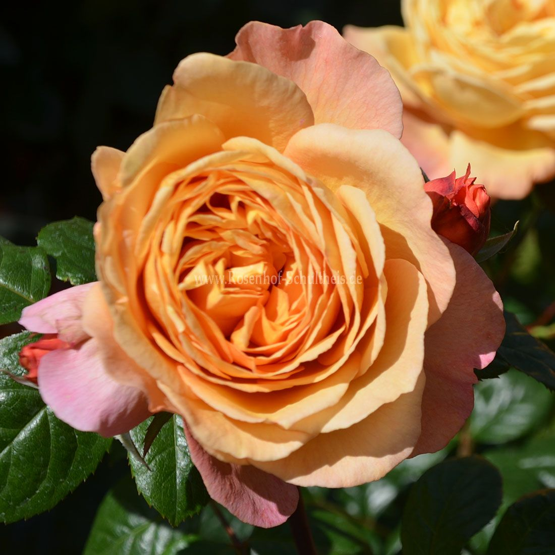 capri rosen online kaufen im rosenhof schultheis rosen online kaufen im rosenhof schultheis. Black Bedroom Furniture Sets. Home Design Ideas