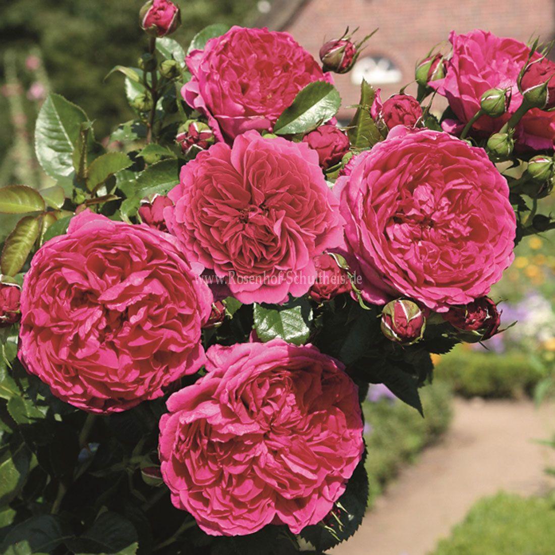 soul rosen online kaufen im rosenhof schultheis rosen online kaufen im rosenhof schultheis. Black Bedroom Furniture Sets. Home Design Ideas