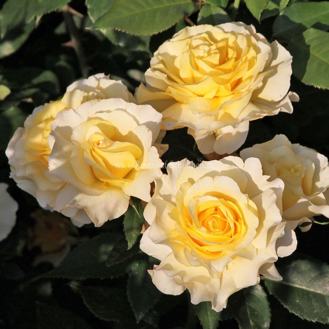 sunny sky rosen online kaufen im rosenhof schultheis rosen online kaufen im rosenhof schultheis. Black Bedroom Furniture Sets. Home Design Ideas