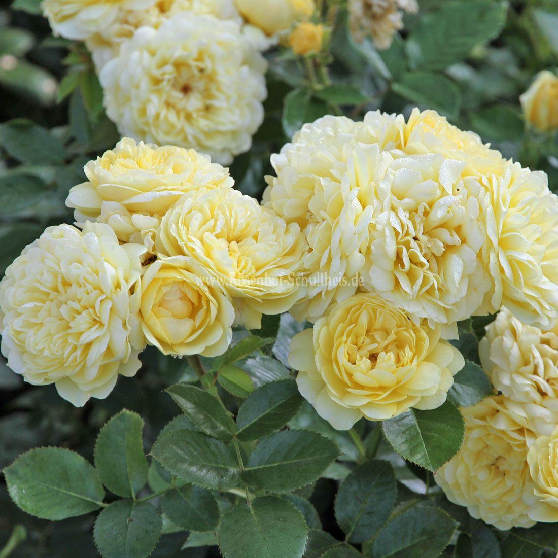 yellow meilove rosen online kaufen im rosenhof schultheis rosen online kaufen im rosenhof. Black Bedroom Furniture Sets. Home Design Ideas