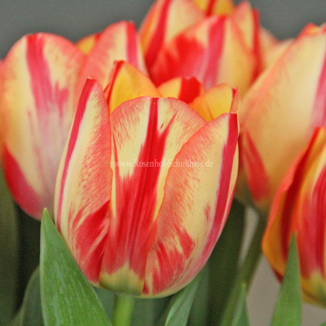 Tulipa 'Spryng Break'